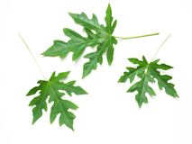 Κλείστε επάνω τα πράσινα papaya φύλλα Στοκ φωτογραφίες με δικαίωμα ελεύθερης χρήσης