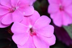 Κλείστε επάνω τα ρόδινα λουλούδια στον κήπο Στοκ εικόνες με δικαίωμα ελεύθερης χρήσης