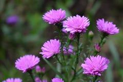 Κλείστε επάνω τα ρόδινα λουλούδια στο υπόβαθρο τρόπου κήπων bokeh Στοκ φωτογραφία με δικαίωμα ελεύθερης χρήσης