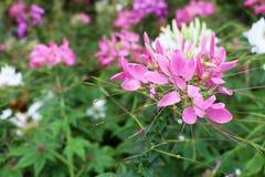 Κλείστε επάνω τα ρόδινα χρώματα της γάτας είναι ανθίζοντας λουλούδια Blume aristatus Orthosiphon μουστακιών Στοκ φωτογραφίες με δικαίωμα ελεύθερης χρήσης