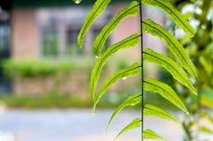 Κλείστε επάνω τα υγρά πράσινα φύλλα φτερών Στοκ Εικόνες