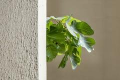 Κλείστε επάνω τα φύλλα δέντρων σύκων πίσω από τον τοίχο στοκ φωτογραφία με δικαίωμα ελεύθερης χρήσης