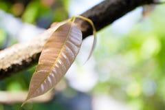 Κλείστε επάνω τα φύλλα του μάγκο στοκ φωτογραφία με δικαίωμα ελεύθερης χρήσης