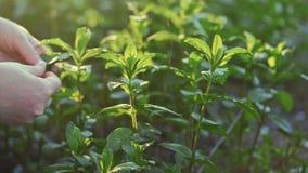 Κλείστε επάνω τα χέρια αγροτών μαδά τα φύλλα μεντών στον κήπο Εγκαταστάσεις στις ακτίνες του ήλιου, σε αργή κίνηση απόθεμα βίντεο