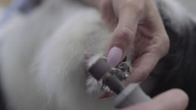 Κλείστε επάνω τα χέρια της γυναίκας κόβει τα καρφιά του μικρού σκυλιού χρησιμοποιώντας την ειδική μηχανή Επαγγελματική ζωική προσ απόθεμα βίντεο