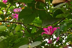 Κλείστε επάνω τα όμορφα ανθίζοντας ρόδινα λουλούδια Bauhinia Purpurea στοκ εικόνες με δικαίωμα ελεύθερης χρήσης