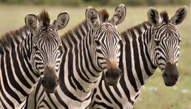 κλείστε επάνω τα zebras Στοκ Φωτογραφία
