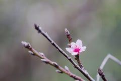 Κλείστε επάνω την άνθιση λουλουδιών Prunus cerasoides είναι πλήρης του κρύου βουνού ως υπόβαθρο Στοκ εικόνες με δικαίωμα ελεύθερης χρήσης