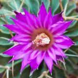 Κλείστε επάνω την άποψη ενός ρόδινου λουλουδιού του κάκτου Στοκ φωτογραφία με δικαίωμα ελεύθερης χρήσης