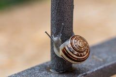 Κλείστε επάνω την άποψη ενός χαριτωμένου σαλιγκαριού κήπων, αργά βγαίνοντας από το κοχύλι του Καλός, καφετής, fibonacci, σπείρα,  στοκ εικόνα με δικαίωμα ελεύθερης χρήσης