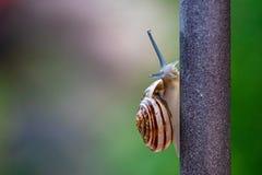 Κλείστε επάνω την άποψη ενός χαριτωμένου σαλιγκαριού κήπων, αργά βγαίνοντας από το κοχύλι του Καλός, καφετής, fibonacci, σπείρα,  στοκ εικόνες με δικαίωμα ελεύθερης χρήσης