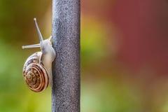 Κλείστε επάνω την άποψη ενός χαριτωμένου σαλιγκαριού κήπων, αργά βγαίνοντας από το κοχύλι του Καλός, καφετής, fibonacci, σπείρα,  στοκ εικόνες