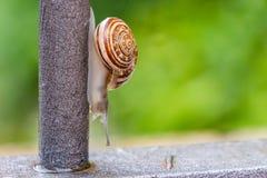 Κλείστε επάνω την άποψη ενός χαριτωμένου σαλιγκαριού κήπων, αργά βγαίνοντας από το κοχύλι του Καλός, καφετής, fibonacci, σπείρα,  στοκ φωτογραφία