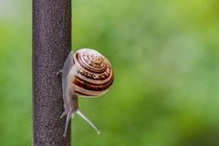 Κλείστε επάνω την άποψη ενός χαριτωμένου σαλιγκαριού κήπων, αργά βγαίνοντας από το κοχύλι του Καλός, καφετής, fibonacci, σπείρα,  στοκ φωτογραφία με δικαίωμα ελεύθερης χρήσης