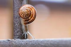 Κλείστε επάνω την άποψη ενός χαριτωμένου σαλιγκαριού κήπων, αργά βγαίνοντας από το κοχύλι του Καλός, καφετής, fibonacci, σπείρα,  στοκ εικόνα