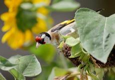 Κλείστε επάνω την άποψη ενός goldfinch στοκ φωτογραφία με δικαίωμα ελεύθερης χρήσης
