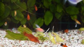 Κλείστε επάνω την άποψη πολλών διαφορετικών ψαριών που τρώνε τα τρόφιμα στο εγχώριο ενυδρείο φιλμ μικρού μήκους