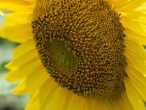 Κλείστε επάνω την άποψη σχετικά με το κεφάλι ηλίανθων με τα μεγάλα κίτρινα πέταλα που αυξάνεται στο γεωργικό τομέα στο καλοκαίρι  Στοκ Εικόνα