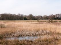 κλείστε επάνω την άποψη της χρυσής επιφύλαξης τοπίων φύσης καλάμων λιμνών Στοκ εικόνες με δικαίωμα ελεύθερης χρήσης
