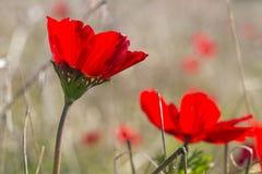 Κλείστε επάνω την άποψη του ανθίζοντας κόκκινου τομέα λουλουδιών Anemone Coronaria, Ισραήλ Στοκ Εικόνες