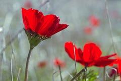 Κλείστε επάνω την άποψη του ανθίζοντας κόκκινου τομέα λουλουδιών Anemone Coronaria Στοκ φωτογραφία με δικαίωμα ελεύθερης χρήσης