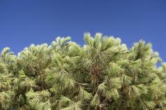 Κλείστε επάνω την άποψη του δέντρου πεύκων με το σαφή μπλε ουρανό Στοκ φωτογραφία με δικαίωμα ελεύθερης χρήσης