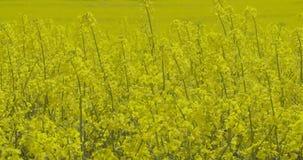Κλείστε επάνω την άποψη του κίτρινου τομέα ελαίου κολζά και του τομέα βιασμών canola απόθεμα βίντεο
