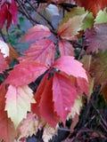 Κλείστε επάνω την άποψη των άγριων φύλλων φθινοπώρου σταφυλιών στοκ φωτογραφίες με δικαίωμα ελεύθερης χρήσης