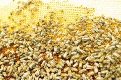 Κλείστε επάνω την άποψη των μελισσών εργασίας στα κύτταρα μελιού στοκ φωτογραφία με δικαίωμα ελεύθερης χρήσης