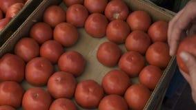 Κλείστε επάνω την άποψη των χεριών νεαρών άνδρων επιλέγοντας τις ντομάτες στην αγορά φρούτων φιλμ μικρού μήκους