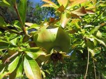 Κλείστε επάνω την άποψη των όμορφων υγιών φρούτων ροδιών σε έναν κλάδο δέντρων στον οπωρώνα ροδιών στοκ φωτογραφίες