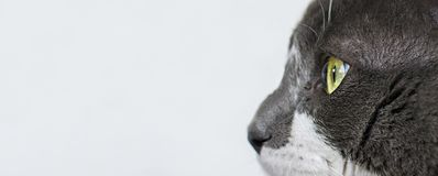 Κλείστε επάνω την άποψη όμορφου πράσινου cat& x27 μάτι του s Γκρίζα και άσπρη γάτα στο άσπρο υπόβαθρο Όμορφη κατασκευασμένη γούνα στοκ φωτογραφίες
