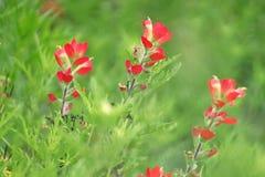 Κλείστε επάνω την εικόνα ενός ινδικού λουλουδιού πινέλων στοκ φωτογραφία με δικαίωμα ελεύθερης χρήσης