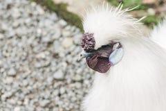 Κλείστε επάνω την εικόνα ενός κοτόπουλου Silkie με το διάστημα αντιγράφων Στοκ Εικόνες