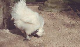 Κλείστε επάνω την εικόνα ενός κοτόπουλου Silkie με το διάστημα αντιγράφων Στοκ Φωτογραφία