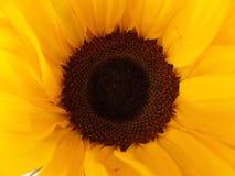 Κλείστε επάνω την εικόνα ενός λουλουδιού ήλιων στοκ εικόνες