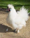 Κλείστε επάνω την εικόνα πορτρέτου ενός κοτόπουλου Silkie Στοκ Εικόνες
