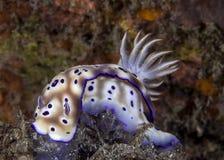 Κλείστε επάνω την εικόνα του ζωηρόχρωμου tyroni Risbecia nudibranch στοκ φωτογραφία