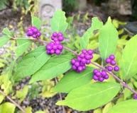 Κλείστε επάνω την εικόνα των καρπών Buddleja του Μπους πεταλούδων του βοτανικού κήπου του Kobe στοκ εικόνες με δικαίωμα ελεύθερης χρήσης