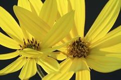 Κλείστε επάνω την εικόνα των λουλουδιών αγκιναρών της Ιερουσαλήμ Στοκ φωτογραφία με δικαίωμα ελεύθερης χρήσης