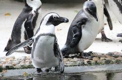 Κλείστε επάνω την εικόνα των μικρών penguins Στοκ φωτογραφίες με δικαίωμα ελεύθερης χρήσης