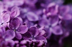 Κλείστε επάνω την εικόνα των φωτεινών ιωδών ιωδών λουλουδιών Αφηρημένο ρομαντικό floral υπόβαθρο στοκ εικόνα