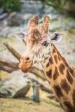 Κλείστε επάνω την εικόνα Giraffe στοκ εικόνα