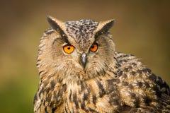Κλείστε επάνω την ευρασιατική αετός-κουκουβάγια Στοκ φωτογραφία με δικαίωμα ελεύθερης χρήσης
