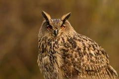 Κλείστε επάνω την ευρασιατική αετός-κουκουβάγια Στοκ φωτογραφίες με δικαίωμα ελεύθερης χρήσης