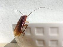 Κλείστε επάνω την κατσαρίδα στην άκρη του άσπρου κύπελλου στοκ εικόνα