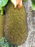 Κλείστε επάνω την πράσινη φλούδα του jackfruit στο δέντρο στον οπωρώνα, τοπικά φρούτα της Ταϊλάνδης Στοκ εικόνες με δικαίωμα ελεύθερης χρήσης