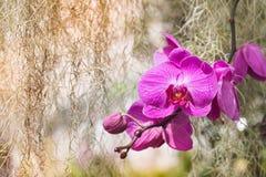 Κλείστε επάνω την όμορφη ρόδινη ανάπτυξη ορχιδεών στον κήπο Στοκ εικόνες με δικαίωμα ελεύθερης χρήσης