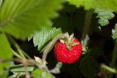 Κλείστε επάνω της άγριας φράουλας που κρύβεται μεταξύ των πράσινων φύλλων Στοκ Φωτογραφίες