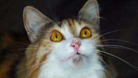 Κλείστε επάνω της βροντής γατών ομορφιάς Άγρια κίτρινα μάτια απόθεμα βίντεο